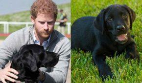 Revelan el nombre del perro labrador adoptado por Meghan Markle y el príncipe Harry